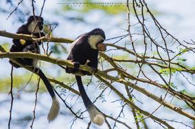 mantled guereza, Colobus guereza, black-and-white colobus, colobe noir et blanc, colobo, Nicolas Urlacher, monkey, singe, wildlife of kenya, monkeys of kenya