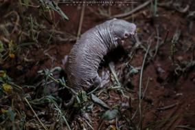 naked mole rat, rat-taupe nu, rata topo lampiña, heterocephalus glaber