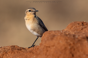 Isabelline wheatear, Oenanthe isabellina, traquet isabelle, collalba isabel, birds of kenya, wildlife of kenya