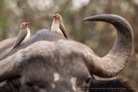 Buphagus erythrorhynchus, red-billed oxpecker, piqueboeuf a bec rouge, picabueyes piquirrojo, birds of kenya, birds of africa, wildlife of kenya