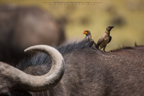 Buphagus africanus, yellow-billed oxpecker, piqueboeuf a bec jaune, picabuyes piquigualdo, birdfs of kenya, birds of africa, wildlife of kenya