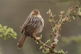 Lynes's cisticola (Cisticola distinctus), birds of kenya, wildlife of kenya, cisticole de lynes