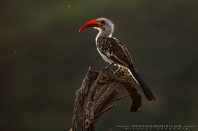 red-billed hornbill, calao a bec rouge, toco piquirrojo