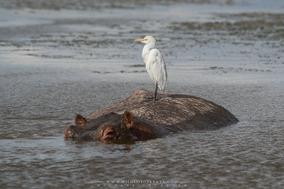 cattle egret on hippo