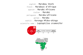 marabou stork, marabout d'afrique, marabu africano, Nicolas Urlacher, wildlife of kenya, birds of kenya, birds of africa, waders