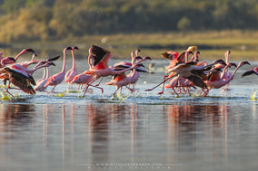 Lesser flamingo, flamant nain, flamenco enano, birds of kenya, wildlife of kenya