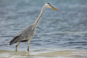 grey heron, héron cendré, garza real
