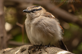 brown-crowned tchagra, tchagra a tete brune, chagra coroniparda