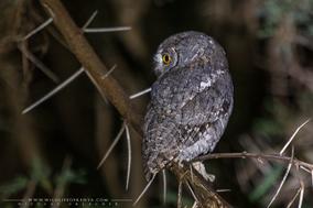 otus senegalensis, petit duc  africain, autillo africano, birds of prey, african scops owl, birds of kenya, Nicolas Urlacher, wildlife of kenya,