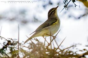 willow warbler, pouillot fitis, mosquitero musical, Phylloscopus trochilus, birds of kenya, birds of africa, migrant birds, wildlife of kenya, Nicolas Urlacher