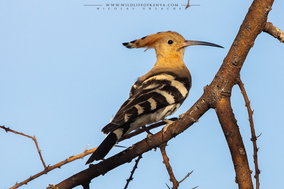 eurasian hoopoe, huppe fasciée, abubilla, birds of kenya, wildlife of kenya