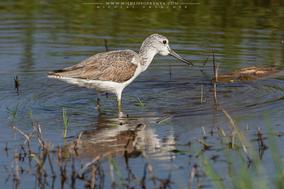 Common greenshank, Tringa nebularia, chevalier aboyeur, archibede claro, birds of kenya, wildlife of kenya