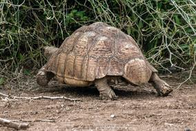 leopard tortoise, Stigmochelys pardalis, reptiles of kenya, wildlife of kenya, tortue leopard