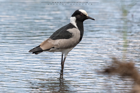blacksmith Plover, Vanellus armatus, vanneau armé, averfia armada, birds of kenya, wildlife of kenya
