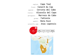 distribution of the Cape Teal