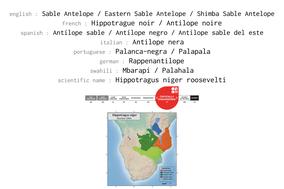 eastern sable antelope, hippotrague noir, antilope sable, wildlife of kenya, Nicolas Urlacher