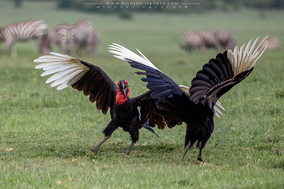 Southern ground hornbill, bucorve du sud, calao terrestre sureño, birds of kenya, wildlife of kenya