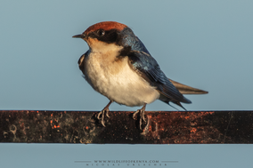 wire-tailed swallow, hirondelle a long brin, golondrina colilarga, Rotkappenschwalbe, Nicolas Urlacher, birds of kenya, birds of africa, wildlife of kenya