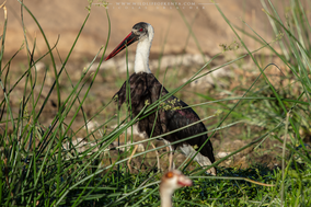 Woolly-necked stork, cigogne épiscopale, cigueña lanuda asiatica, Nicolas Urlacher, birds of Kenya, water birds, birds of africa, wildlife of Africa