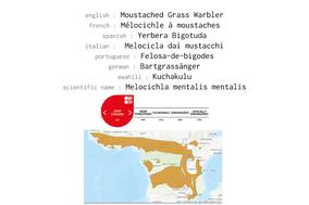 moustached grass warbler, Melocichla mentalis, mélocichle a moustaches, yerbera bigotuda , birds of kenya, wildlife of kenya, nicolas urlacher, birds of africa