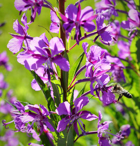 Epilobium angustifolium, Schmalblättrige Weidenröschen, Wildpflanzen