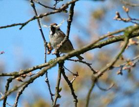 Seltener Kaiser-Wilhelm-Vogel in den Rieselfeldern? Oder doch nur ein Feldsperling mit Nistmaterial? Foto: Günter Bockwinkel