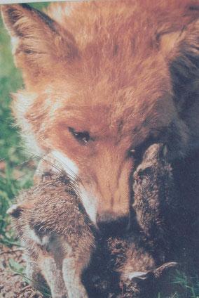 Fuchs mit Junghasenbeute