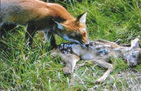 Fuchs mit Raubbeutekitz