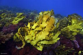 Bosque de kelp sano. /  © Joan Costa