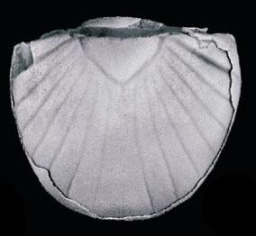Detalle del pigidio donde se aprecia la forma triangular del raquis