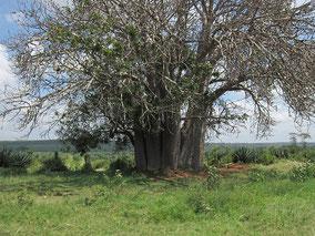 バオバブの木です