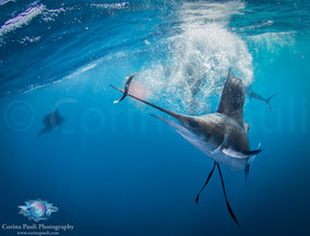Sailfish Corina Pauli