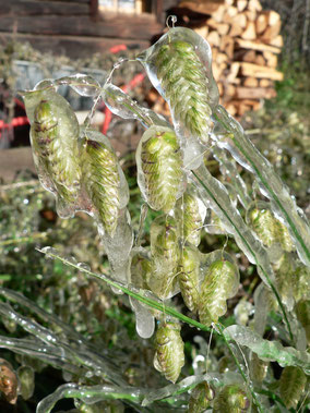 Ziergras Eis Natur vereist