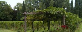 een pergola van zeer oude wijnranken in Le Vigne di San Pietro