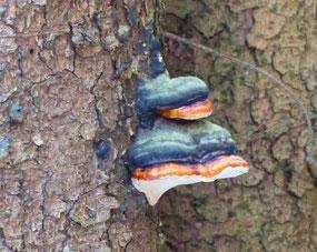 Rotrandiger Baumschwamm (Fomitopsis pinicola)