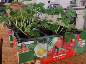 junge Erdbeerpflanzen