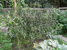 kranke Tomatenpflanzen