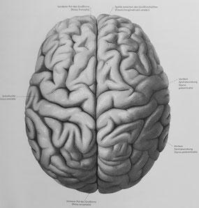 Abbildung aus dem Atlas der Anatomie von H. F. Ullmann