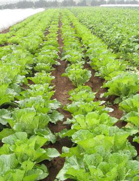 白菜の畑風景の写真