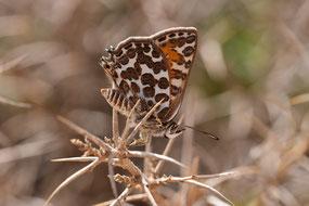 C. zohra cryptozohra, région de Taliouine, Anti-Atlas nord-oriental, saison 2017, photo Frédérique Courtin-Tarrier