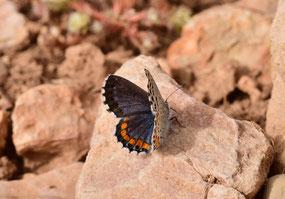 P. fatma, mâle, Réserve de Papillons d'Inifife, Moyen Atlas central, 2017, ©Frédérique Courtin-Tarrier