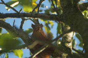 Ein Eichhörnchen mit rotbraunem Fell sitzt in einem Obstbaum zwischen einigen knorpeligen Ästen und grünen Blättern.