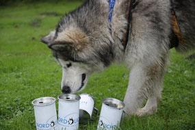 Nordischer Hund untersucht unsere Spendendose