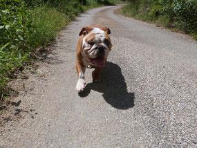chien de France, Ultimum Invictus, Bulldog anglais, Lof Hérault,