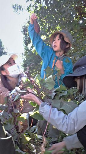 無農薬栽培のサツマイモの収穫@街で自然農・世田谷ものづくり学校