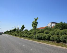 Alleebaumpflanzung und Windschutz