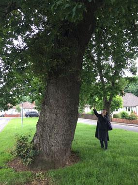駅のすぐそばにこんな立派なオークの木