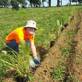Gloria Diggs setting prairie plants in the trenches.