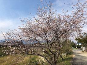 矢合川の秋の桜