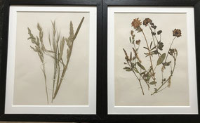 Edwardian pressed countryside plants